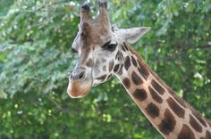 Zoo - Vienna Vienna, Giraffe, My Photos, Animals, Felt Giraffe, Animales, Animaux, Giraffes, Animal