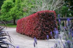 Photinia 'Red Robin' in all its glory. — at Twining Valley Nurseries Hedges Landscaping, Shade Landscaping, Garden Hedges, Landscaping Ideas, Florida Landscaping, Red Tip Photinia, Photinia Fraseri Red Robin, Evergreen Shrubs, Trees And Shrubs