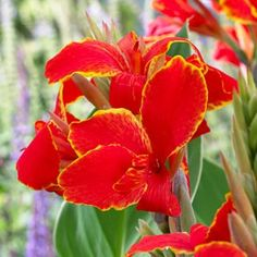 Lily Madeira Canna   Dwarf (about 3 ft. tall max)  I like the yellow edging to the red blooms
