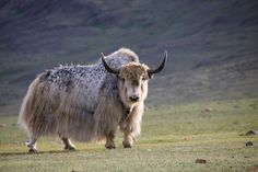 Mongol Yak - this one's for you, Vivienne, the believer in yaks. : )