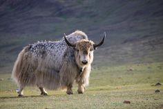 Mongol Yak