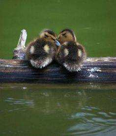 DUCKLINGS share cute things at www.sharecute.com