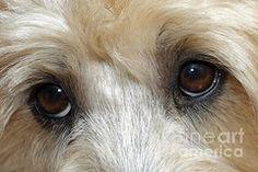 Terrier Mix Wheaten Art - Terrier eyes by John Van Decker - Wheaten Terrier Mix, Bull Terrier Dog, Wheaton Terrier Soft Coated, Cairn Terrier, Yorkshire Terrier, Boston Terrier, Puppy Cut, Basic Dog Training, American Pit