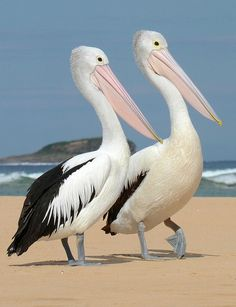 "Australian Pelican ""Bilbungra"", Penguin Island, Australia March 2014"