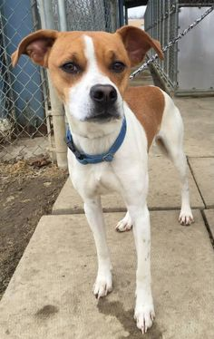Meet Kennel # 05, a Petfinder adoptable Beagle Dog | Elyria, OH | Kennel #05 available for adoption 3/24. Not sure of breed, definitely mixed.
