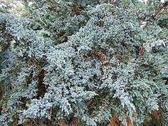 Juniperus squamata0.jpg
