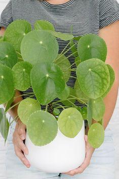Spotlight: Pilea peperomioides (pannenkoekplant of Chinese geldp