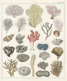 Oken Antique Prints, shell prints, fish prints, coral prints, jellyfish prints 1833-1841