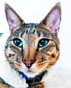 Just a cat in a vest, nothing else to see here.  Bentley The Savannah Cat
