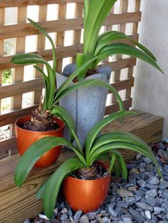 Don't toss that holiday Amaryllis ~ Caring for amaryllis over the summer