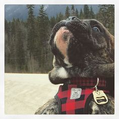 "19 Likes, 2 Comments - Otis Baron (@otisbulldawg) on Instagram: ""Look up! Look waaaaaaay up! I'm gonna' eat those mountains. #thefriendlygiant #rcpets…"""