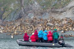Steller's sea lions in the Sea of Okhotsk, Russia's Far East