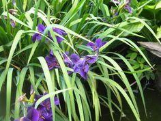 Irises in the pond