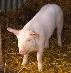 17 Best Pigs Images In 2013 Pigs Baby Pig Baby Pigs