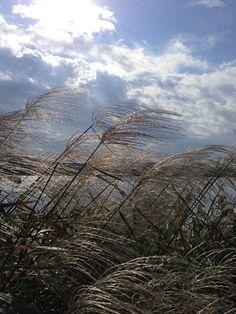 佐鳴湖のススキ Adversity of backlight Hamamatsu, Clouds, Japan, Mountains, City, Nature, Travel, Outdoor, Outdoors