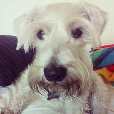 """Jake el peludito """"angelito"""" de bastet #mascotas #Schnauzer #pets #love"""