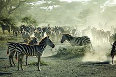 Zebras im Staub der Savanne Südafrikas