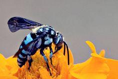 Blue Bee