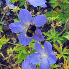 This is a 'Johnsons blue' geranium from our pollinator bed, being enjoyed by a bee in the summer.   Pollinator beds attract lots of bees, butterflies and other insects, and help support our natural ecosystem.    Image: Andrea Benson  .  .  .  #growinggardens #horniman #bee #bees #beesofinstagram #pollinatorgarden #gardens #blue #geranium