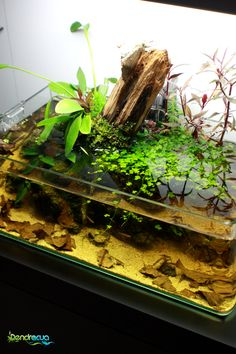 """The classic black water in a beautifully laid out shallow aquarium / paludarium with striving hydrocotyle tripartita sp. japan. dendroacuafriends: """"GÉNESIS"""" Aquscaping by DendroAcua"""