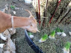 Growing Fodder for my Goats (part 1)