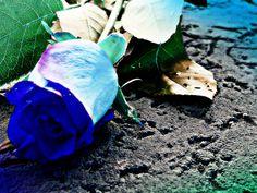 Purple rose ~ by Karla