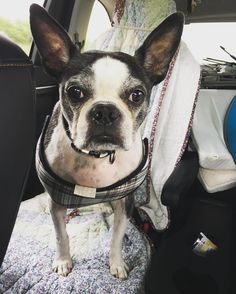 I love going for car rides! Today the family and I are taking my sister back to her university for research. I sure will miss her but at least I get her bed all to myself now! #bostonterrier #dog #dogsofinstagram #carride #trip #sanantonio by flaming_winston_bostonterrier