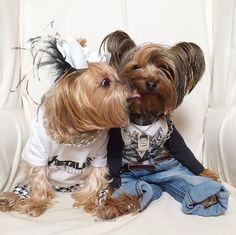 I love the jeans and the pose not to mention the attitude:) #yorkshireterrier