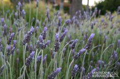 About This Plant Evergreen shrub. Growing Lavender, Lavandula, Evergreen Shrubs, Drought Tolerant Plants, Live Plants, Topiary, Hedges, Blue Flowers, Garden Landscaping