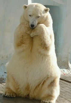 "Someone captioned this as ""I feel pretty!"" — there is nothing pretty here - this beautiful Polar Bear is obviously in captivity, and his/her body language expresses a sense of despair. Please fight against captivity of all animals, human or otherwise — we ALL deserve freedom and quality of life!!!"