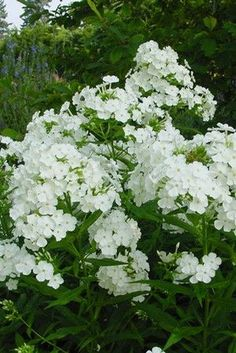 Phlox 'David', is a beautiful white variety of upright phlox with superb mildew resistance. The long bloom season ranges from July through September. The blooms are highly fragrant, heavily set, and b