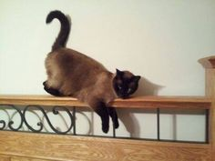 Jessica Alexander SkorupskiFriends of Suffield Animal Shelter 13 hrs ·    Please help, we have lost our Siamese cat Pucca. He is very friendly, no front claws and a mole on his ear. He is chipped, but allergic to his collar, so he does not wear it. Last seen at home (Daventry Hill Lane, Suffield Meadow Condos) on Saturday night. He is an indoor/outdoor cat but never stays out at night. Please message me if you have seen him, or know anything.