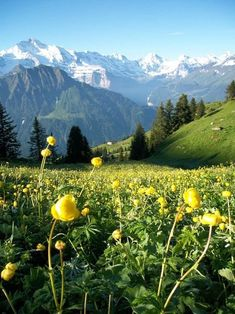 Alpine Flowers in Switzerland Beautiful World, Beautiful Places, Beautiful Pictures, Flor Magnolia, Landscape Photography, Nature Photography, Grindelwald, Alpine Flowers, Scenery Pictures