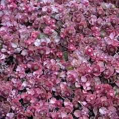 A vigorous plant that flowers bright red. Big attraction is handsomely formed ruby-red leaves. Cold hardy to zone 4. Free Shipping on orders over $75.