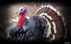 Turkey Hungarian