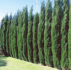 The Fastest Growing Quality Evergreen - The Thuja Green Giant quickly gives you a lush, rich privacy screen (3-5 feet per year once established). - Drought tolerant - Disease & insect resistant - Easy to grow & very adaptable You can block out neighbors while taking very little yard space. Thuja Green Giants grow...