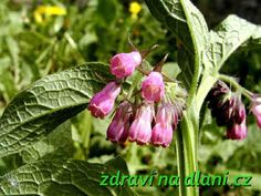 Kostival lékařský | Zdraví na dlani Plants, Flora, Plant, Planting