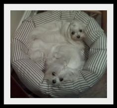 Dr. Dodds Updated Liver Diet - Maltese Dogs Forum : Spoiled Maltese Forums