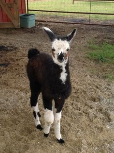 Baby llama. Llamas, Farming Ideas, Baby Llama, Pet Organization, American Animals, Llama Alpaca, Colorful Animals, Camels, Giraffes