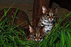 Palawan Bengal Cats Are First of Berlin Zoo's Breeding Program