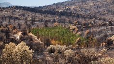 Enigma of the trees that resist wildfires: The Mediterranean cypress is able to maintain a high water content in extreme heat and drought