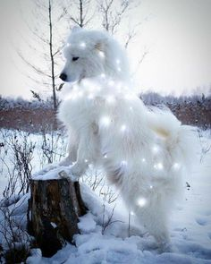 Star light star bright samoyed - Photos from Woofie_Dogs -