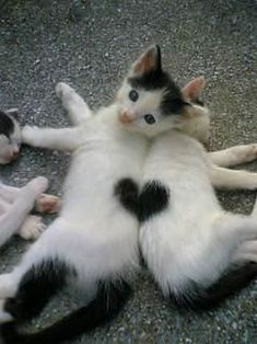 Two kitten's spots make a heart.