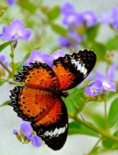 Malay Lacewing (Cethosia hypsea) butterfly