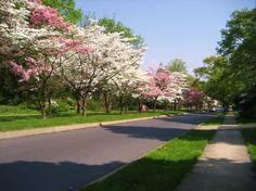 Dogwood trees going down the middle of President Avenue in the springtime! I love this street!