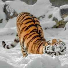 Tiger Stretches