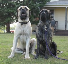 english mastiff | Thunderbolt English Mastiffs