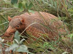 The Giant Armadillo, Priodontes maximus, is listed as 'VULNERABLE' on the IUCN Red List of Threatened Species
