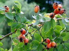 Η αγριοτριανταφυλλιά είναι πολυετής θάμνος πολύκλαδος και αγκαθωτός, που φθάνει σε ύψος από 1-3 μέτρα,και ανήκει στην οικογένεια των Ροδανθών (Rosaceae). Αυτή η ομάδα φυτών βρίσκεται στις εύκρατες περιοχές και στα δύο ημισφαίρια, και υπάρχουν πάνω από 100 είδη της. Η... #τριανταφυλλο