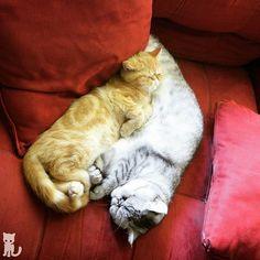 Snoozesday  #exoticshorthair #cat #cute #instacat #flatface  #cats #catsagram  #animallovers #kitten #meow #pet #mreggs #catlover #petsagram #catstagram #exoticsofinstagram #smushface #katze #sirpumpkin #thomasvillega